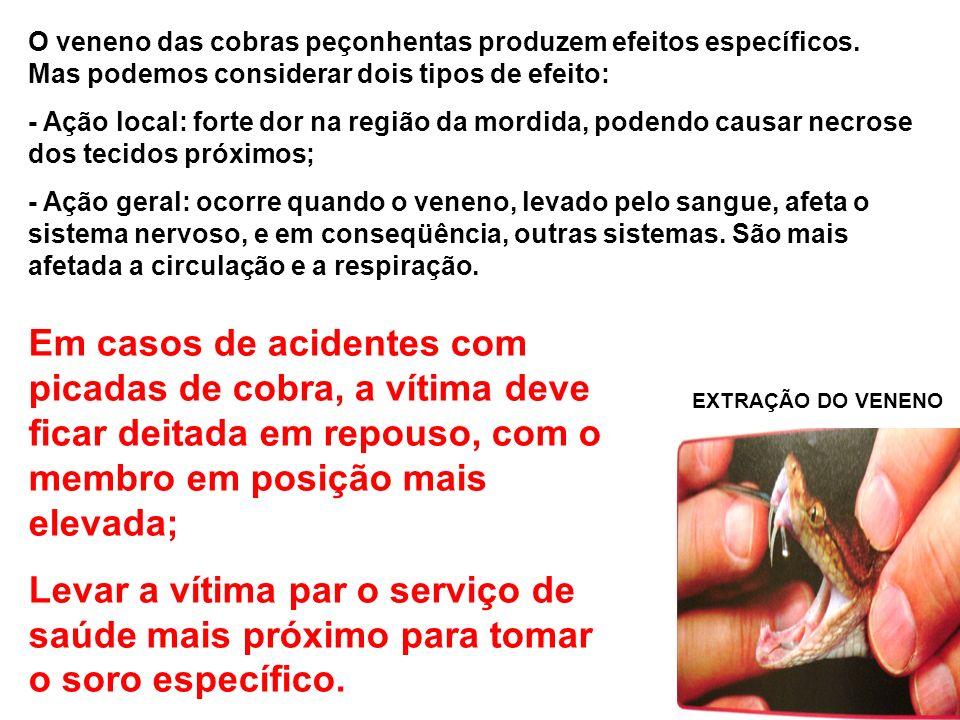 EXTRAÇÃO DO VENENO O veneno das cobras peçonhentas produzem efeitos específicos. Mas podemos considerar dois tipos de efeito: - Ação local: forte dor