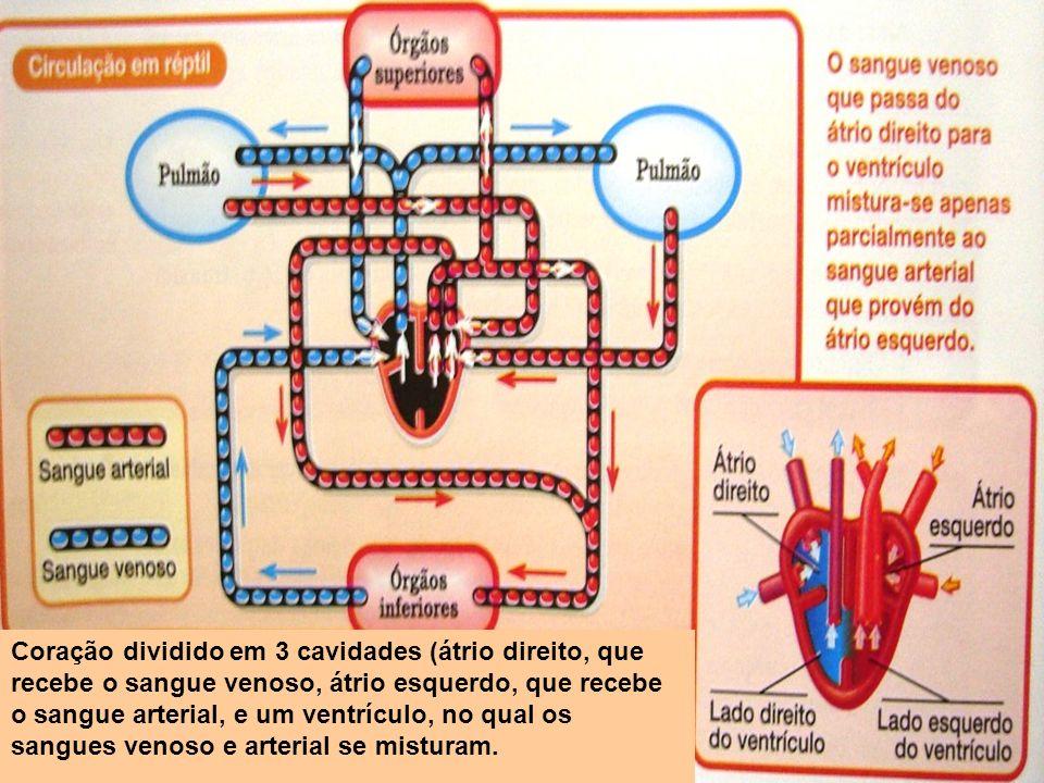 Coração dividido em 3 cavidades (átrio direito, que recebe o sangue venoso, átrio esquerdo, que recebe o sangue arterial, e um ventrículo, no qual os