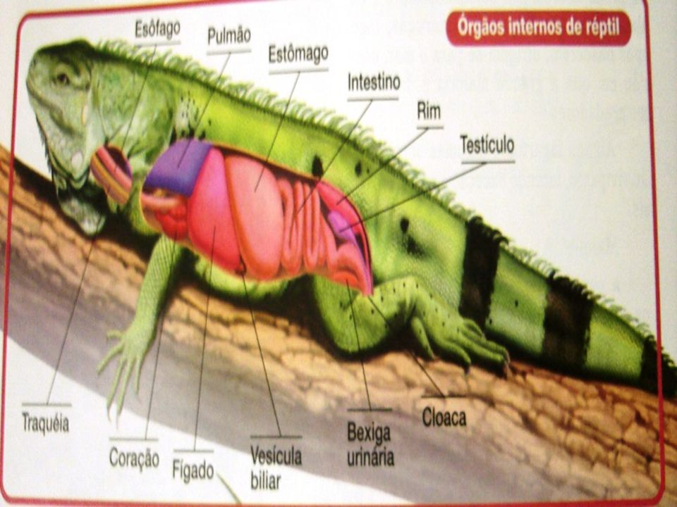 Reprodução - Sexos separados; Fecundação interna, isto é, os machos, durante a cópula, lançam os espermatozóides no interior do corpo da fêmea.