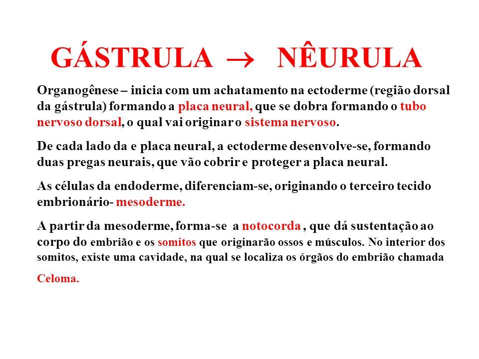GÁSTRULA NÊURULA Organogênese – inicia com um achatamento na ectoderme (região dorsal da gástrula) formando a placa neural, que se dobra formando o tu