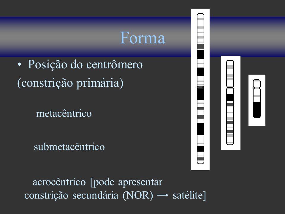 Forma Posição do centrômero (constrição primária) metacêntrico submetacêntrico acrocêntrico [pode apresentar constrição secundária (NOR) satélite]
