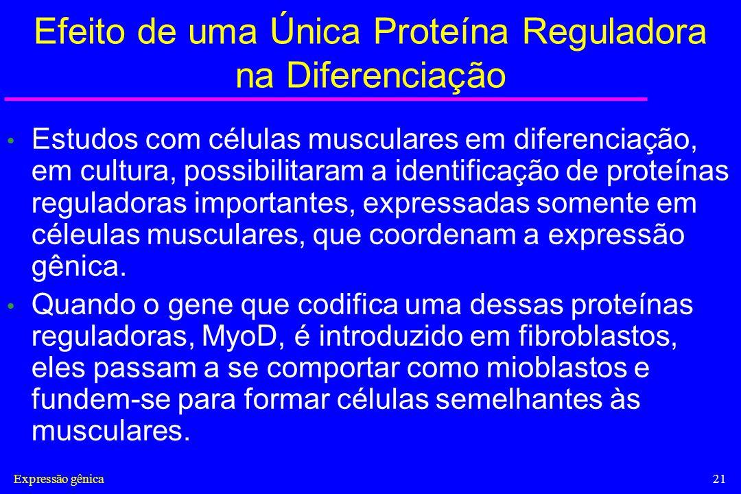 Expressão gênica21 Efeito de uma Única Proteína Reguladora na Diferenciação Estudos com células musculares em diferenciação, em cultura, possibilitara