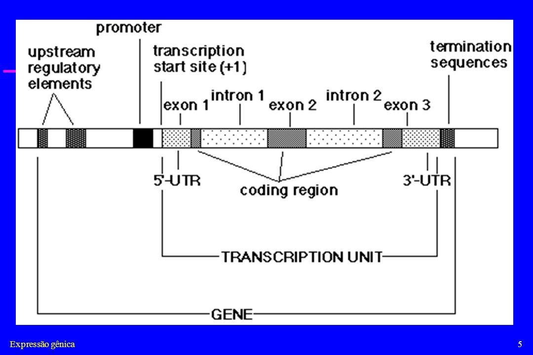Expressão gênica26 Influência da Estrutura da Cromatina na Transcrição em Eucariotos A maior parte do DNA em uma célula eucariótica está complexada nos nucleossomos e a estrutura espiralada dificulta o acesso de fatores de transcrição e RNA- polimerase.