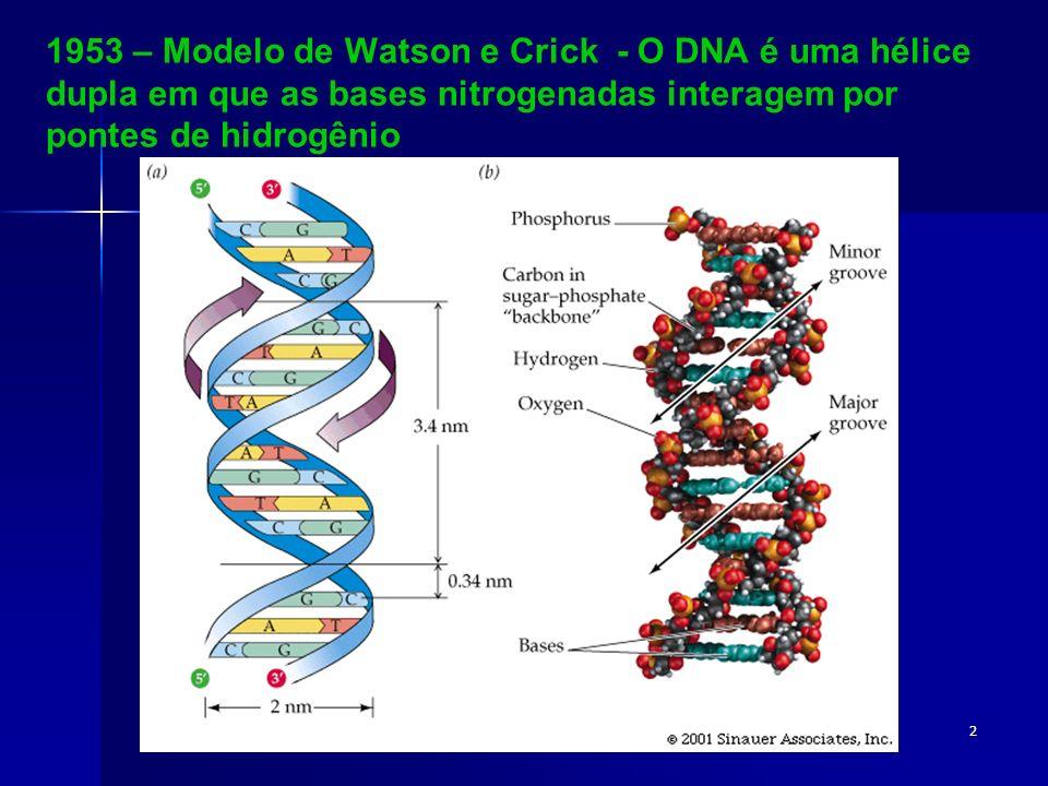 2 1953 – Modelo de Watson e Crick - O DNA é uma hélice dupla em que as bases nitrogenadas interagem por pontes de hidrogênio