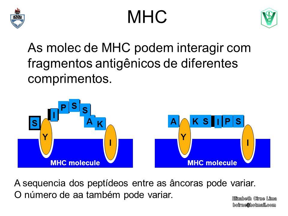 MHC As molec de MHC podem interagir com fragmentos antigênicos de diferentes comprimentos. Y I MHC molecule Y I P S A S I K S PSA I KS A sequencia dos