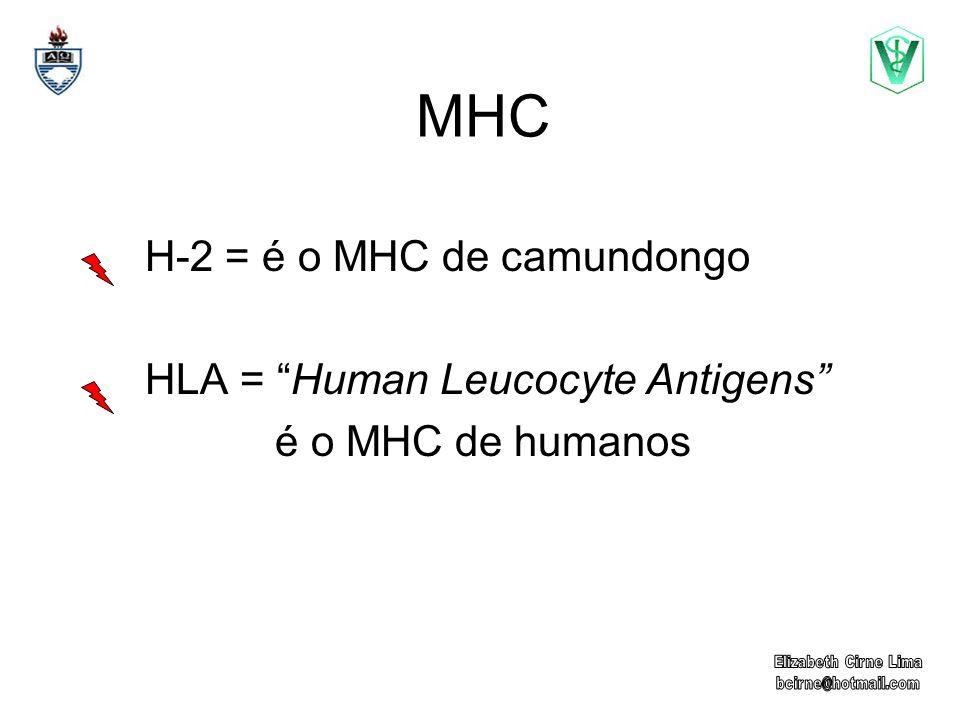 MHC H-2 = é o MHC de camundongo HLA = Human Leucocyte Antigens é o MHC de humanos