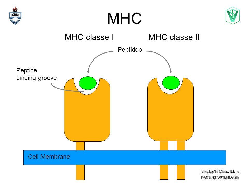 MHC Classe II Moléculas expressas por células apresentadoras de antígeno (APC).