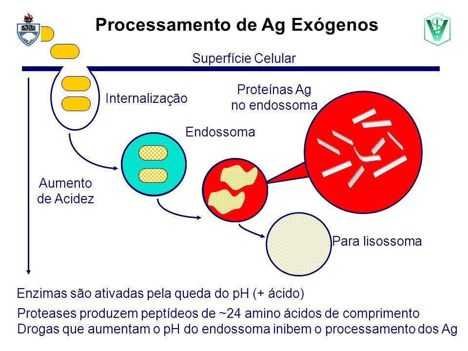 Proteases produzem peptídeos de ~24 amino ácidos de comprimento Drogas que aumentam o pH do endossoma inibem o processamento dos Ag Endossoma Processamento de Ag Exógenos Aumento de Acidez Superfície Celular Para lisossoma Internalização Proteínas Ag no endossoma Enzimas são ativadas pela queda do pH (+ ácido)