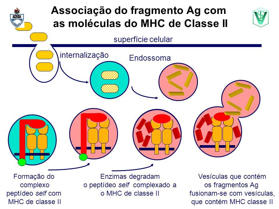 Endossoma superfície celular internalização Associação do fragmento Ag com as moléculas do MHC de Classe II Formação do complexo peptídeo self com MHC de classe II Enzimas degradam o peptídeo self complexado a o MHC de classe II Vesículas que contém os fragmentos Ag fusionam-se com vesículas, que contém MHC classe II