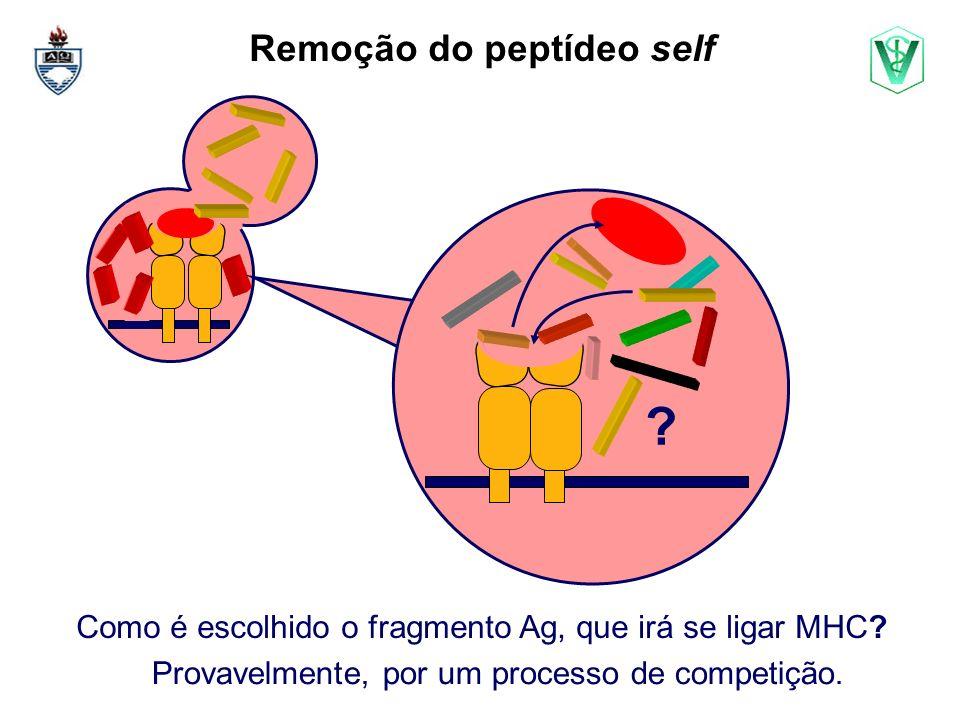 Remoção do peptídeo self .Como é escolhido o fragmento Ag, que irá se ligar MHC.