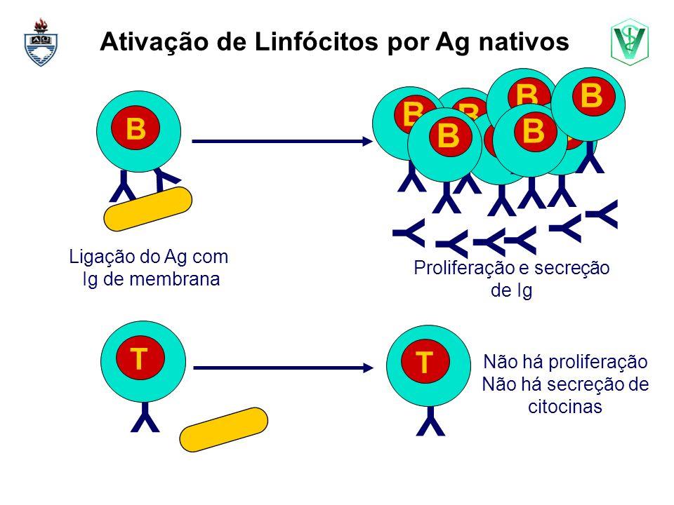 Ativação de Linfócitos por Ag nativos Y Y B Y Y Y Y Y Y Y B Y T Y T Proliferação e secreção de Ig Não há proliferação Não há secreção de citocinas Ligação do Ag com Ig de membrana Y B Y B Y B Y B Y B Y B Y B