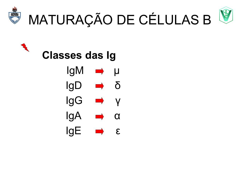 MATURAÇÃO DE CÉLULAS B Elizabeth Cirne Lima bcirne@hotmail.com Classes das Ig IgM μ IgD δ IgG γ IgA α IgE ε