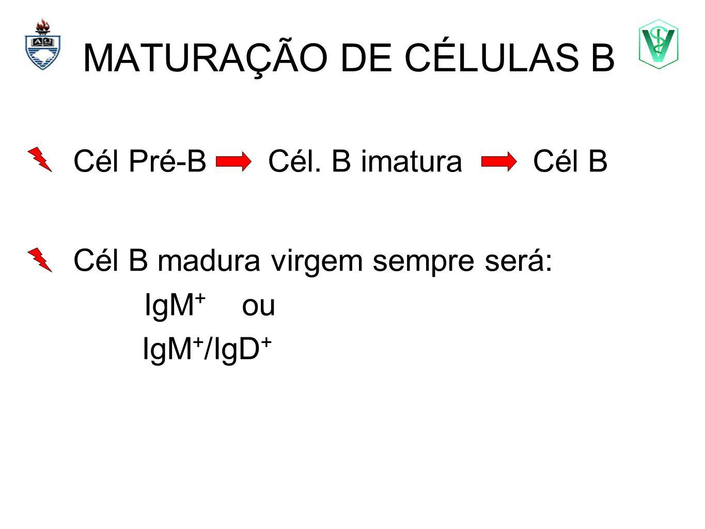 MATURAÇÃO DE CÉLULAS B Elizabeth Cirne Lima bcirne@hotmail.com Cél B madura virgem sempre será: IgM + ou IgM + /IgD + Cél Pré-B Cél. B imatura Cél B