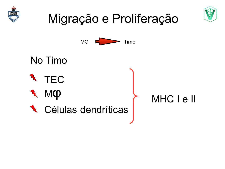 Migração e Proliferação MO Timo Elizabeth Cirne Lima bcirne@hotmail.com No Timo Células dendríticas TEC MHC I e II MφMφ