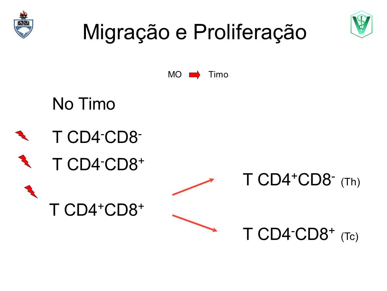 Migração e Proliferação MO Timo Elizabeth Cirne Lima bcirne@hotmail.com No Timo T CD4 + CD8 + T CD4 - CD8 - T CD4 + CD8 - (Th) T CD4 - CD8 + T CD4 - C