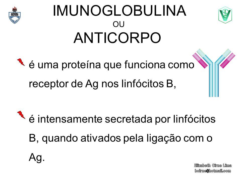 IMUNOGLOBULINA OU ANTICORPO é intensamente secretada por linfócitos B, quando ativados pela ligação com o Ag. é uma proteína que funciona como recepto