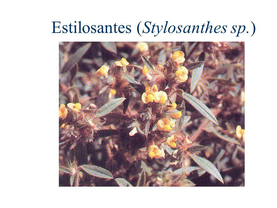 Estilosantes (Stylosanthes sp.)