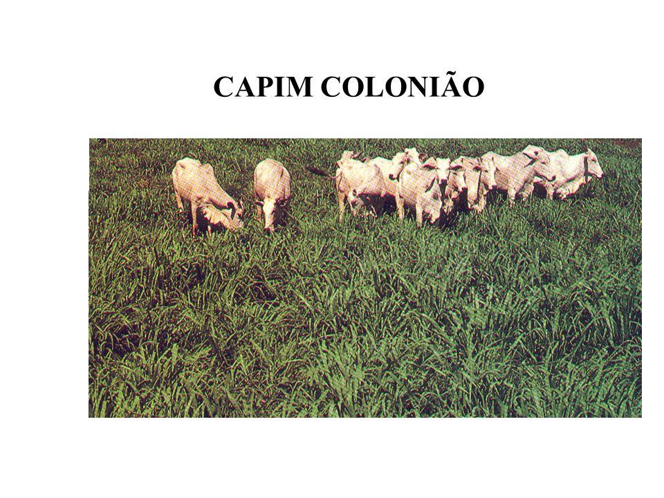 CAPIM COLONIÃO