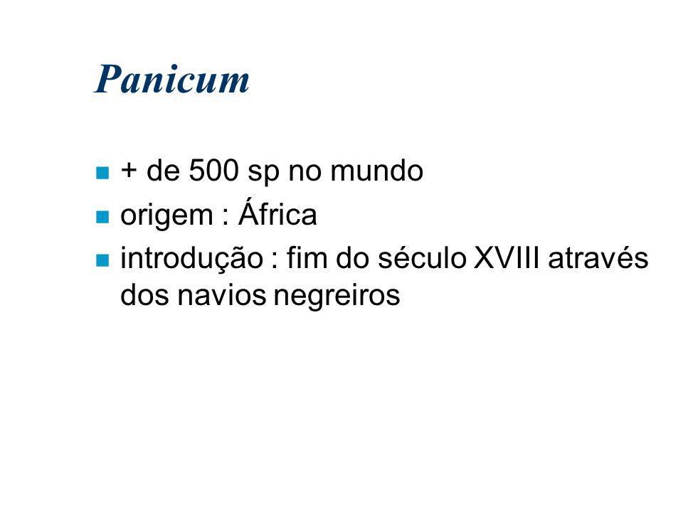 Panicum n + de 500 sp no mundo n origem : África n introdução : fim do século XVIII através dos navios negreiros