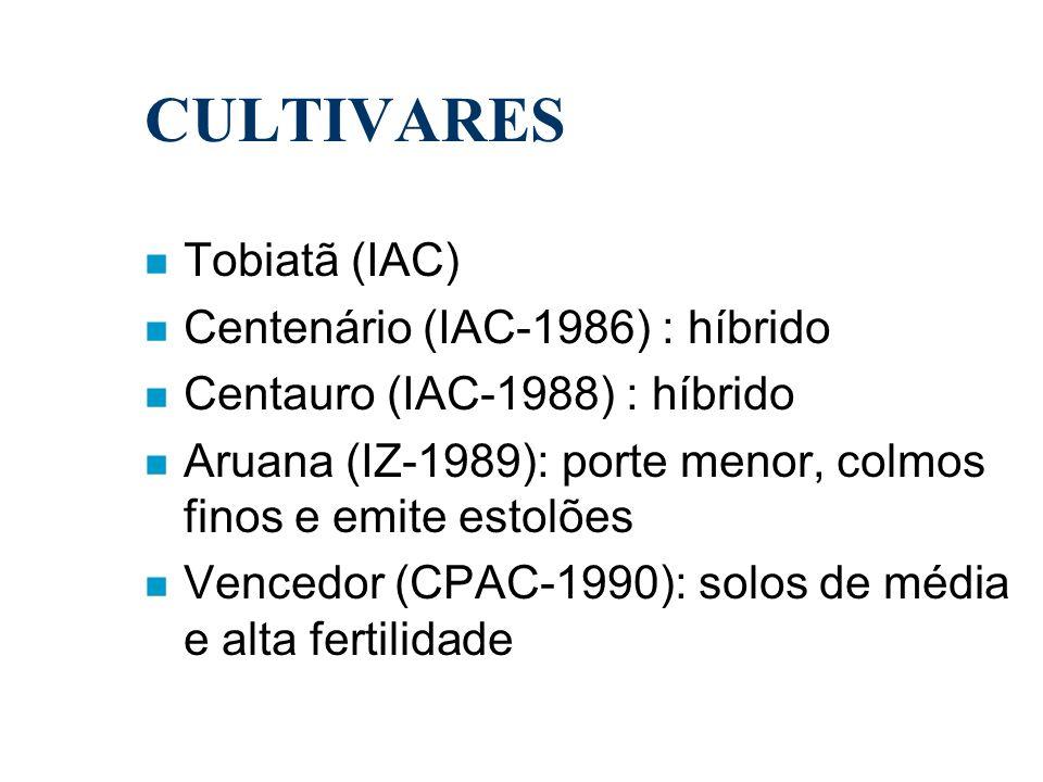 CULTIVARES n Tobiatã (IAC) n Centenário (IAC-1986) : híbrido n Centauro (IAC-1988) : híbrido n Aruana (IZ-1989): porte menor, colmos finos e emite est