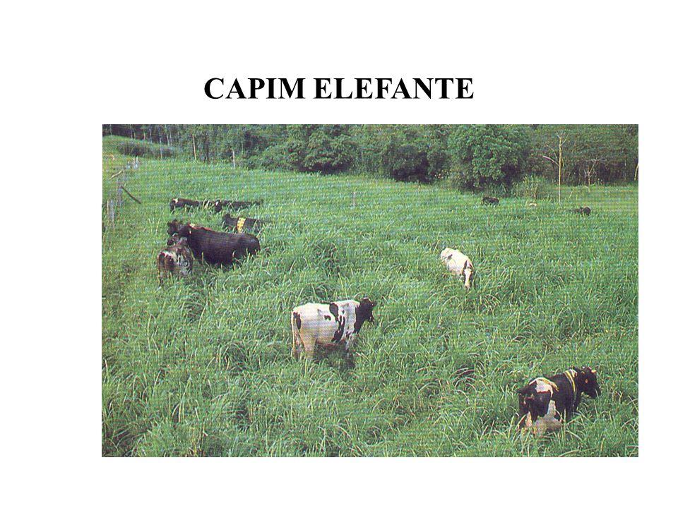 CAPIM ELEFANTE