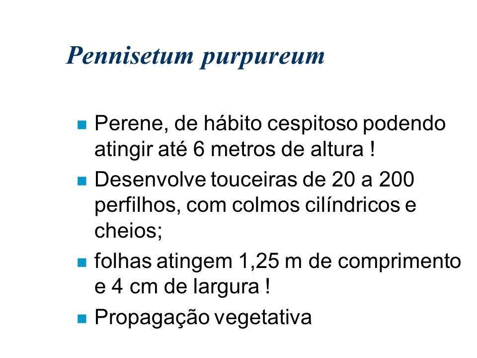 Pennisetum purpureum n Perene, de hábito cespitoso podendo atingir até 6 metros de altura ! n Desenvolve touceiras de 20 a 200 perfilhos, com colmos c