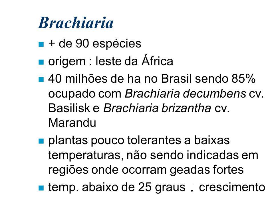 Brachiaria n + de 90 espécies n origem : leste da África n 40 milhões de ha no Brasil sendo 85% ocupado com Brachiaria decumbens cv. Basilisk e Brachi