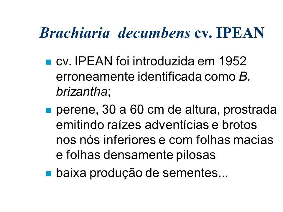 Brachiaria decumbens cv. IPEAN n cv. IPEAN foi introduzida em 1952 erroneamente identificada como B. brizantha; n perene, 30 a 60 cm de altura, prostr