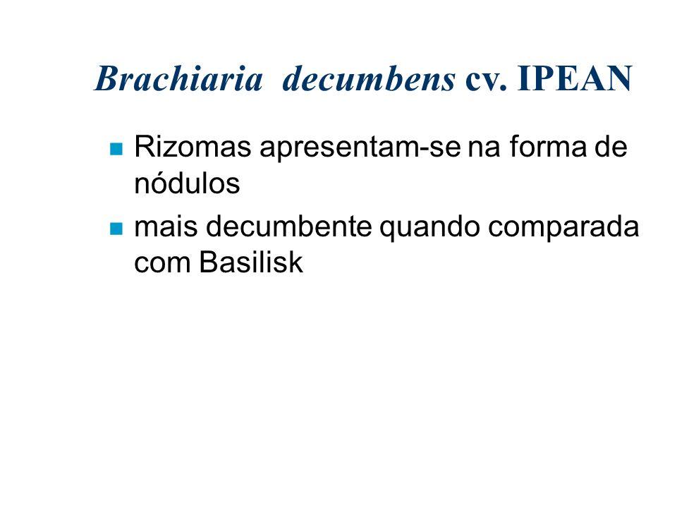 Brachiaria decumbens cv. IPEAN n Rizomas apresentam-se na forma de nódulos n mais decumbente quando comparada com Basilisk