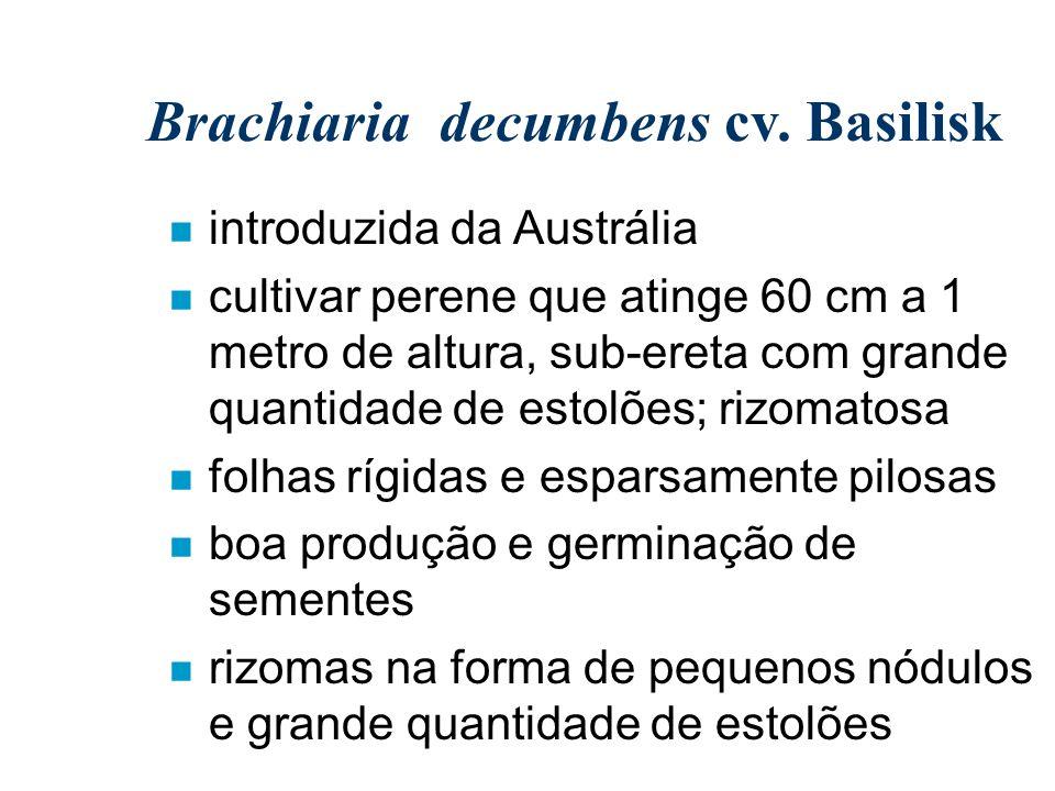 Brachiaria decumbens cv. Basilisk n introduzida da Austrália n cultivar perene que atinge 60 cm a 1 metro de altura, sub-ereta com grande quantidade d