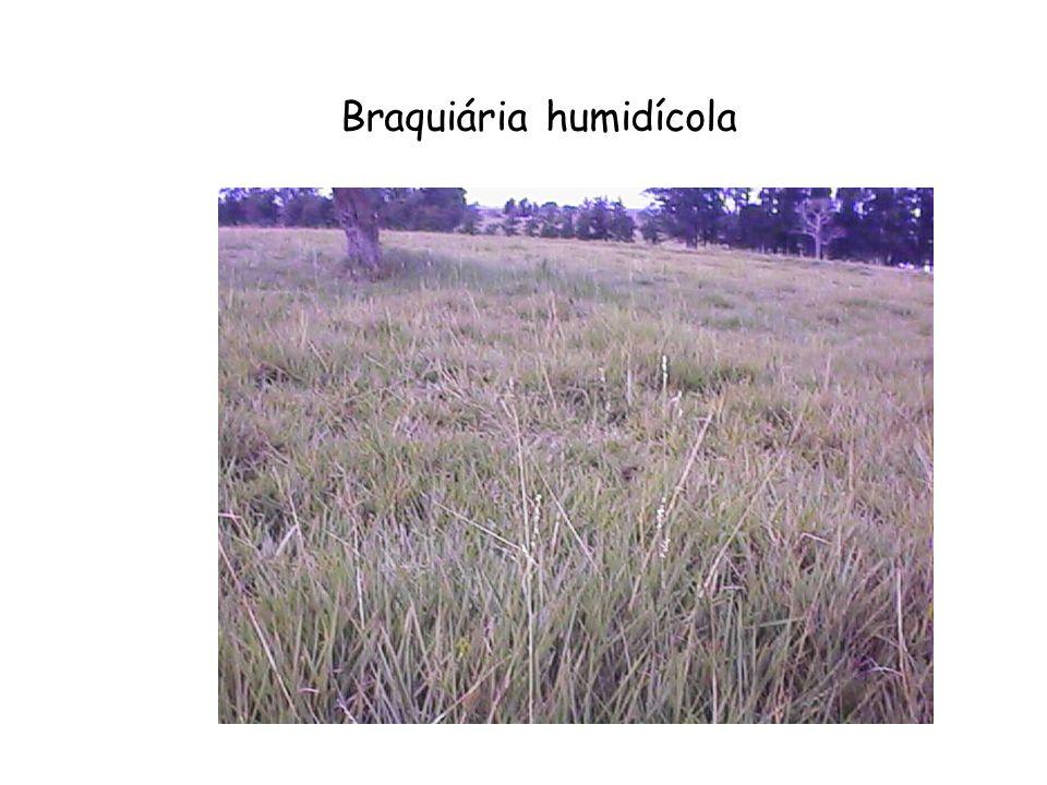 Braquiária humidícola