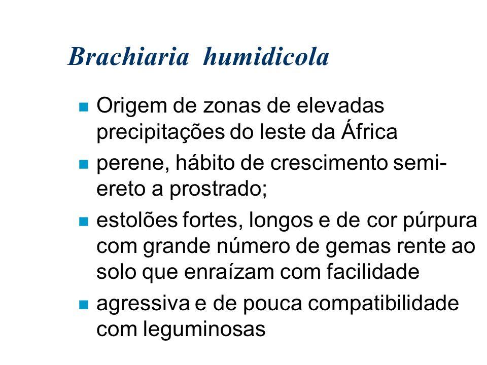 Brachiaria humidicola n Origem de zonas de elevadas precipitações do leste da África n perene, hábito de crescimento semi- ereto a prostrado; n estolõ