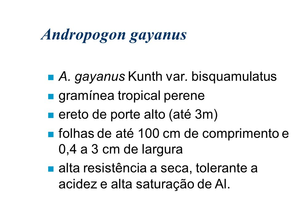 Andropogon gayanus n A. gayanus Kunth var. bisquamulatus n gramínea tropical perene n ereto de porte alto (até 3m) n folhas de até 100 cm de comprimen
