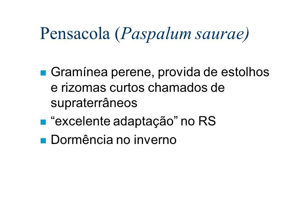 Pensacola (Paspalum saurae) n Gramínea perene, provida de estolhos e rizomas curtos chamados de supraterrâneos n excelente adaptação no RS n Dormência