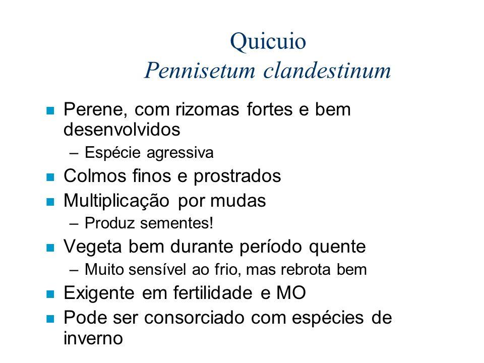 Quicuio Pennisetum clandestinum n Perene, com rizomas fortes e bem desenvolvidos –Espécie agressiva n Colmos finos e prostrados n Multiplicação por mu