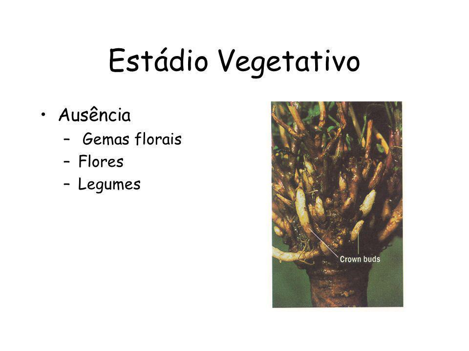 Estádio Vegetativo Ausência – Gemas florais –Flores –Legumes