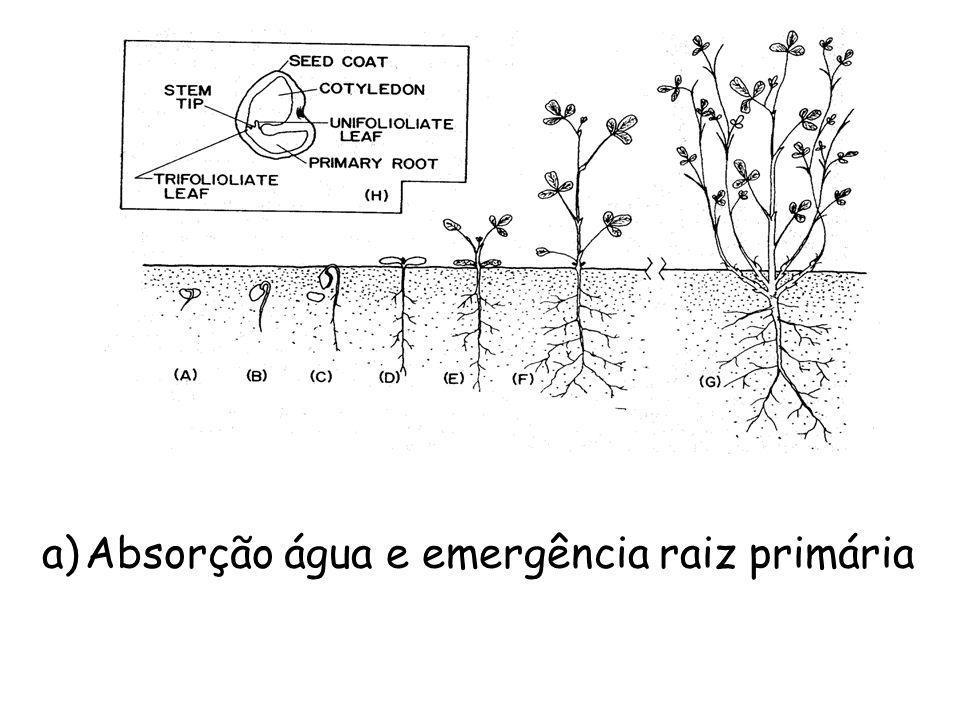 a) Absorção água e emergência raiz primária