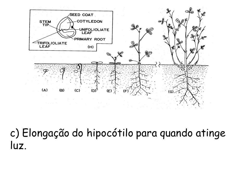 c) Elongação do hipocótilo para quando atinge luz.