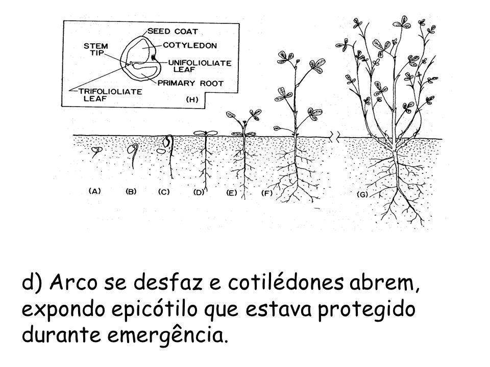 d) Arco se desfaz e cotilédones abrem, expondo epicótilo que estava protegido durante emergência.
