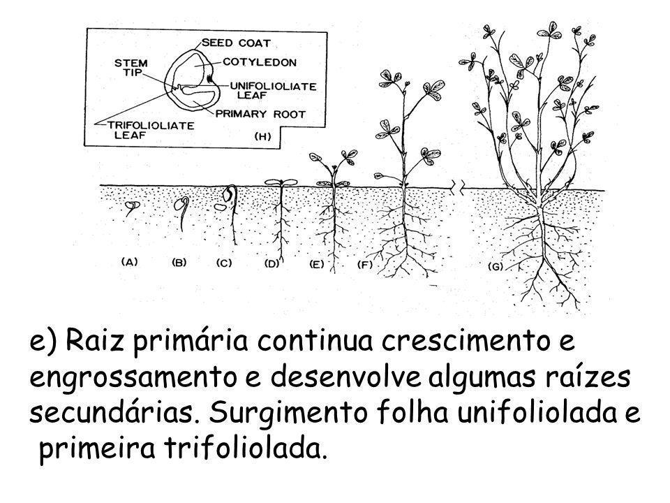 e) Raiz primária continua crescimento e engrossamento e desenvolve algumas raízes secundárias. Surgimento folha unifoliolada e primeira trifoliolada.