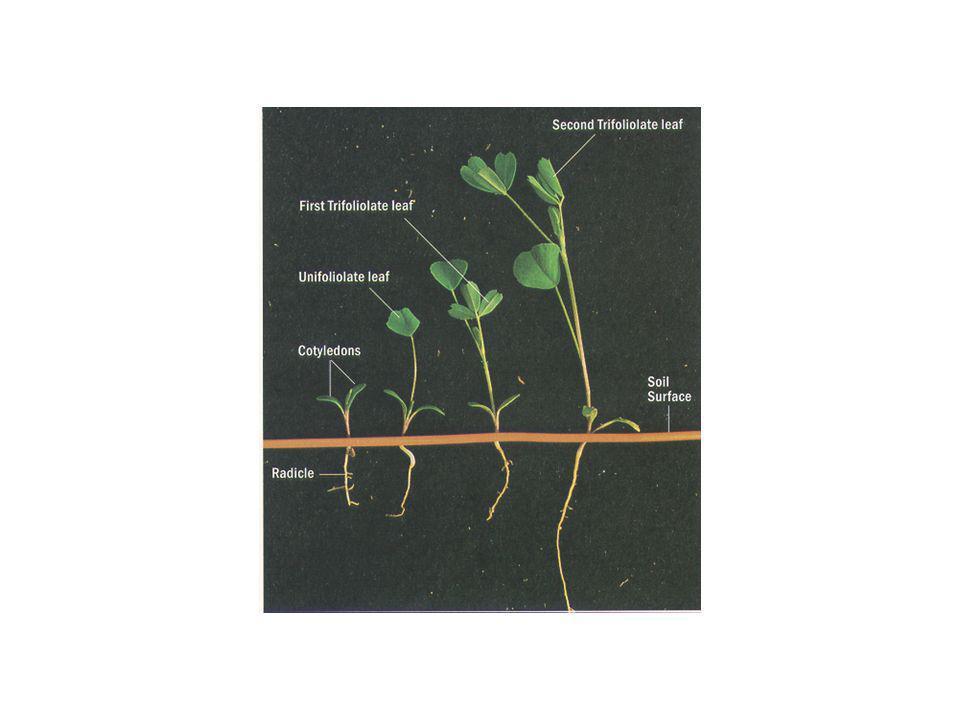 Crescimento inicial ou rebrote – IAF baixo para produção energia que suporte crescimento: reservas (CHO e N) –Altura 45 cm: energia suficiente para crescimento e repor reservas –Crescimento primavera é predominantemente de gemas basilares e é dependente da temperatura