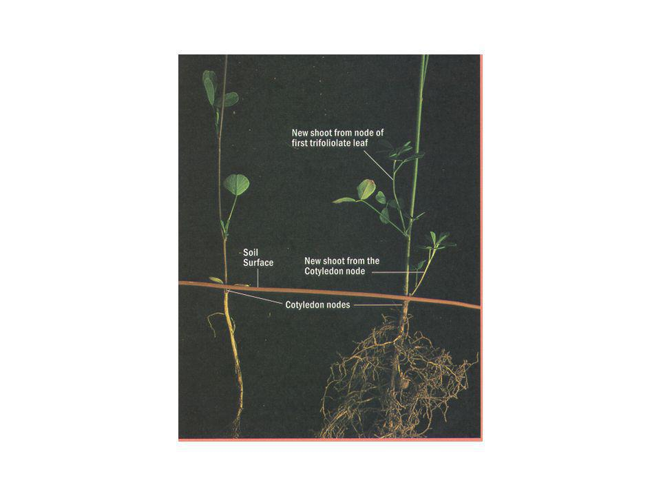 e) Raiz primária continua crescimento e engrossamento e desenvolve algumas raízes secundárias.