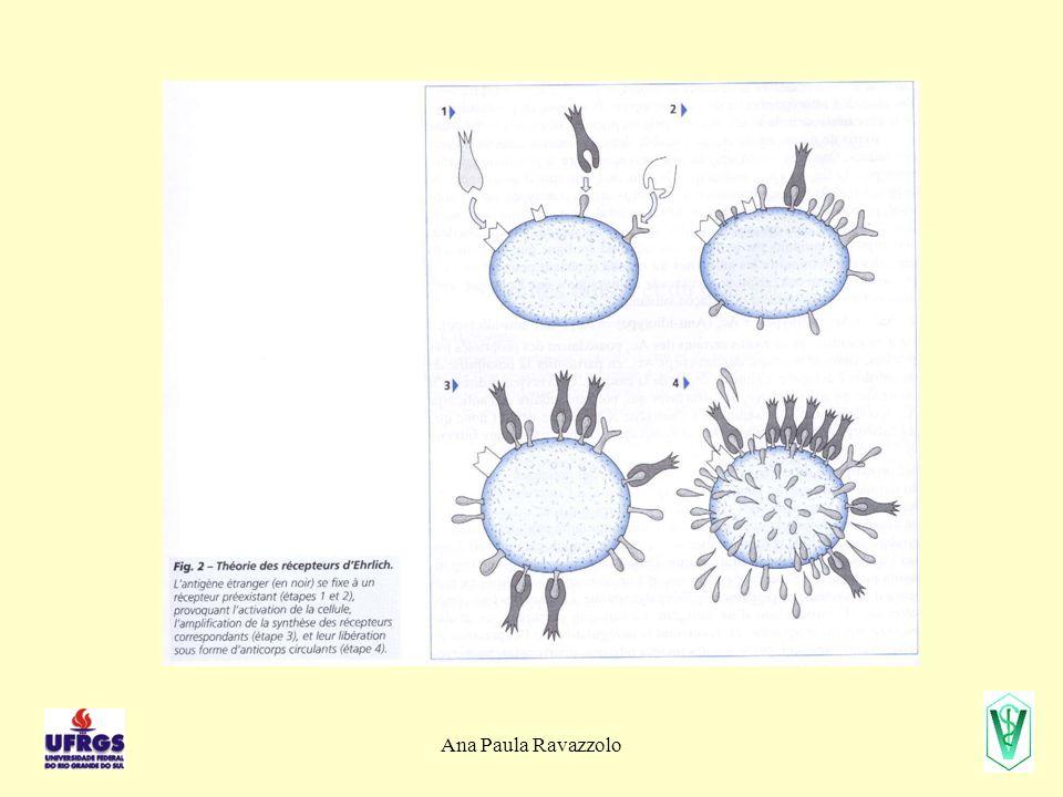 Ana Paula Ravazzolo Diversidade das Ig Como genes distintos codificam para uma única proteína.