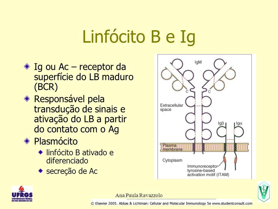Ana Paula Ravazzolo Linfócito B e Ig Ig ou Ac – receptor da superfície do LB maduro (BCR) Responsável pela transdução de sinais e ativação do LB a partir do contato com o Ag Plasmócito linfócito B ativado e diferenciado secreção de Ac