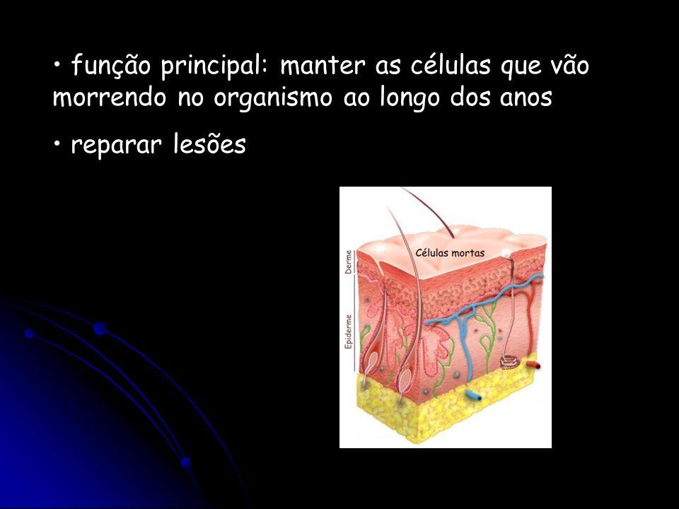 função principal: manter as células que vão morrendo no organismo ao longo dos anos reparar lesões
