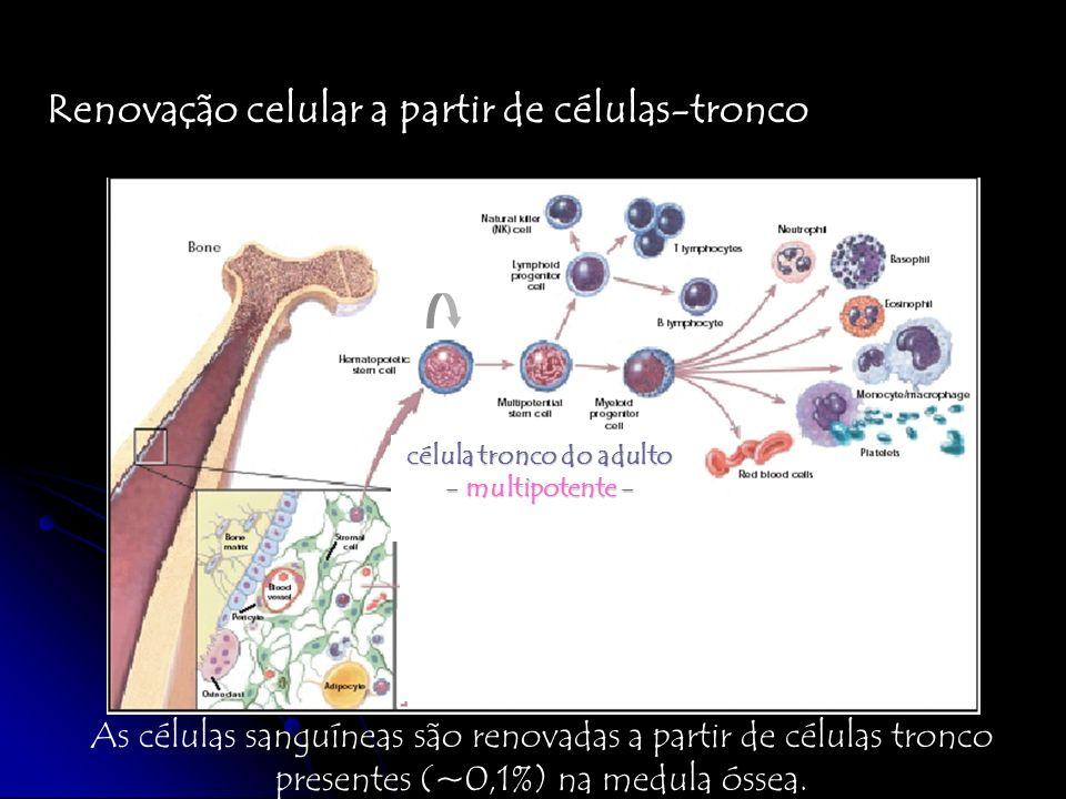Renovação celular a partir de células-tronco As células sanguíneas são renovadas a partir de células tronco presentes (~0,1%) na medula óssea. célula