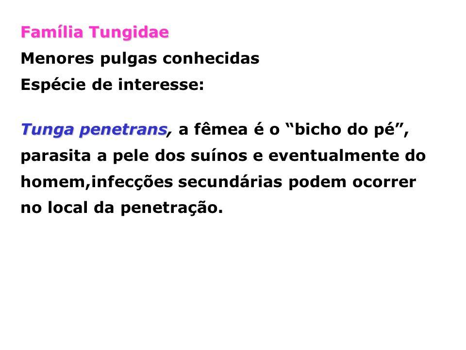 Família Tungidae Menores pulgas conhecidas Espécie de interesse: Tunga penetrans Tunga penetrans, a fêmea é o bicho do pé, parasita a pele dos suínos