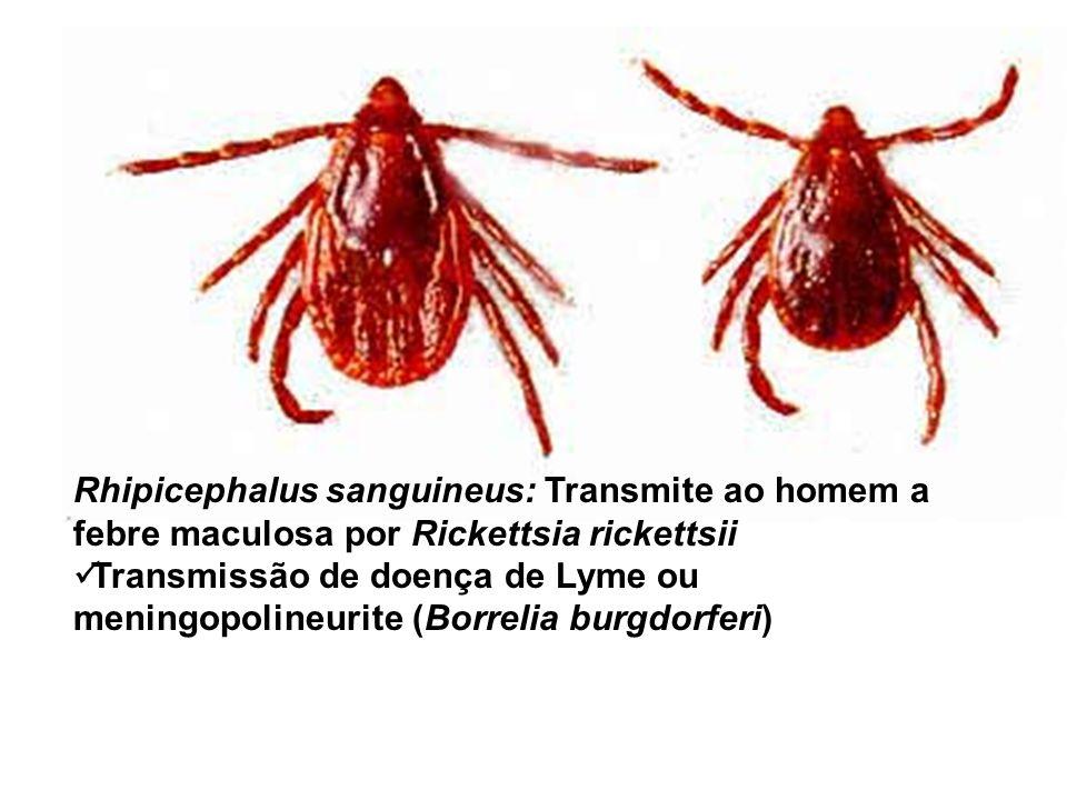 Rhipicephalus sanguineus: Transmite ao homem a febre maculosa por Rickettsia rickettsii Transmissão de doença de Lyme ou meningopolineurite (Borrelia