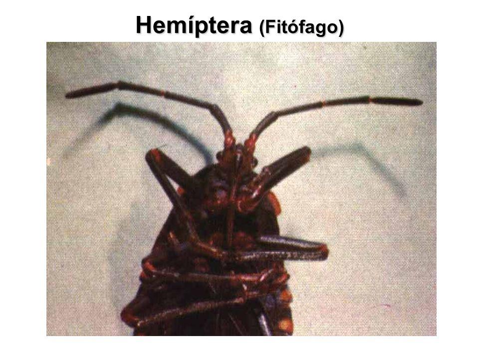 Panstrongylus spp Panstrongylus spp., antenas inseridas junto aos olhos, cor negra com manchas vermelhas.