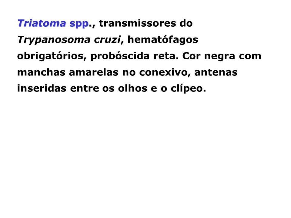 Triatoma spp., Triatoma spp., transmissores do Trypanosoma cruzi, hematófagos obrigatórios, probóscida reta. Cor negra com manchas amarelas no conexiv
